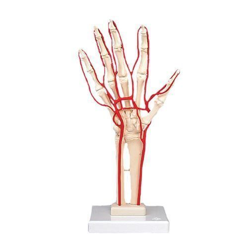 Esqueleto de la mano con arterias 3B scientific M17