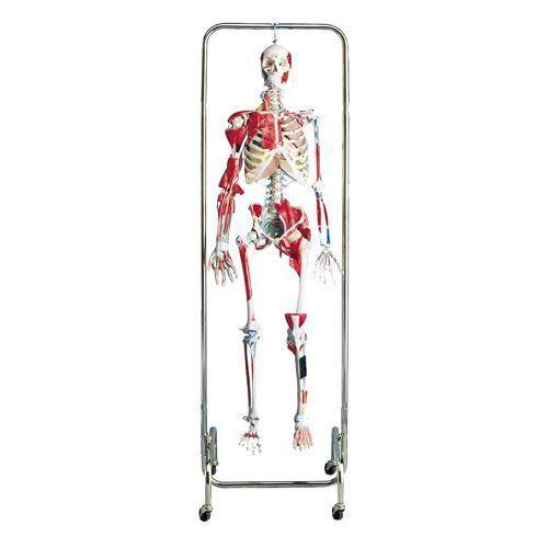 Esqueleto Ortopédico 3B scientific W47000