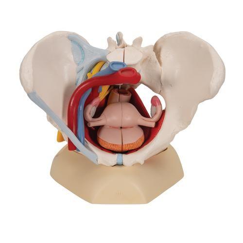 Pelvis femenina con ligamentos, vasos, nervios, piso pélvico y órganos, 6-partes H20/4