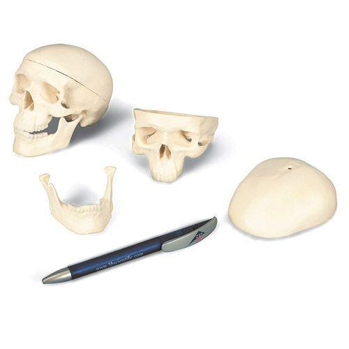 Cráneo miniatura de 3 piezas A18/15