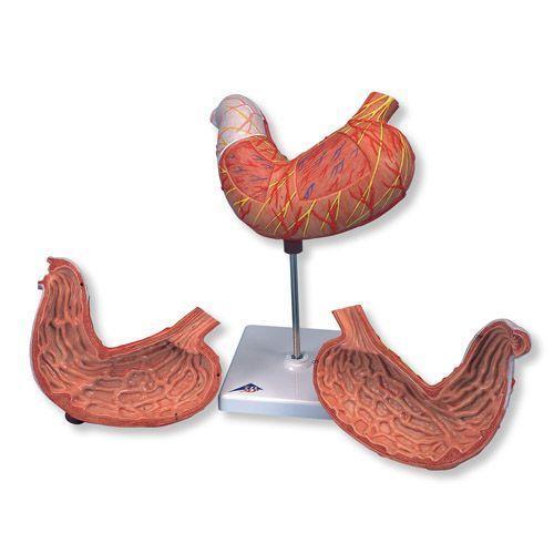 Estómago, en 2 piezas 3B scientific K15