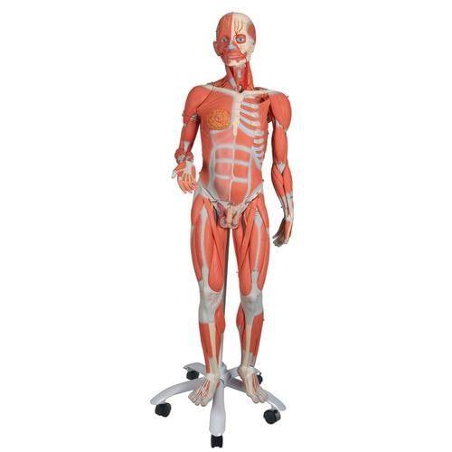 Figura con músculos de doble sexo, desmontable en 45 piezas B50