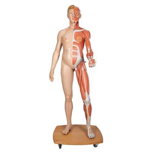 Figura muscular del cuerpo humano de doble sexo tipo europeo B53