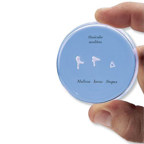 Osículos auditivos de tamaño natural 3B scientific - E13