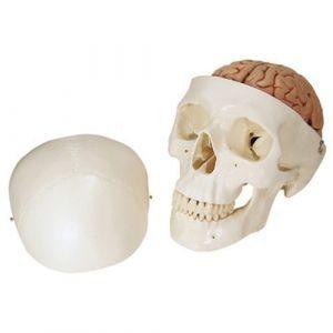 Cráneo clásico con cerebro, 8 partes 3B scientific A20/9