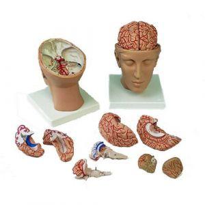 Encéfalo de lujo con arterias en la base de la cabeza, desmontable en 10 piezas 3B - C25