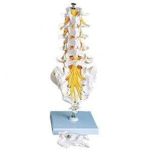 Columna vertebral lumbar 3B scientific A74