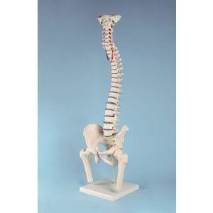 Columna vertebral con hernia discal, pelvis desmontable con soporte 4033 Erler Zimmer