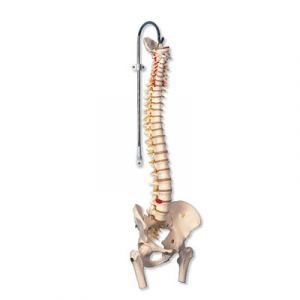 Columna flexible para uso intensivo, con cabezas de fémur A59/2