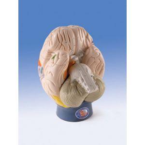 Modelo de las regiones cerebrales, 4 partes W42565