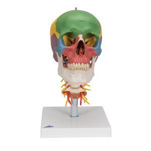 Cráneo clásico didáctico con columna cervical, 4 partes 3B scientific A20/2