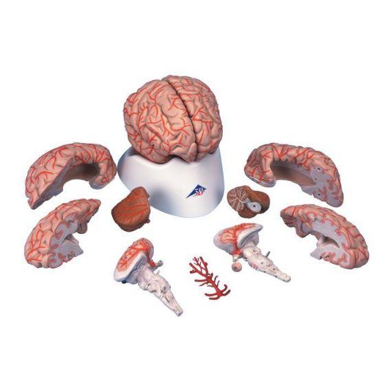 Cerebro de Lujo con Arterias, desmontable en 9 piezas 3B scientific C20