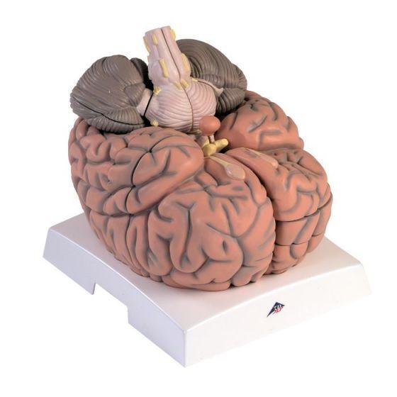 Encéfalo gigante, 2,5 veces el tamaño natural, desmontable en 14 piezas VH409