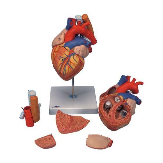 Corazón con esófago y tráquea, 2 veces su tamaño natural, de 5 piezas 3B - G13
