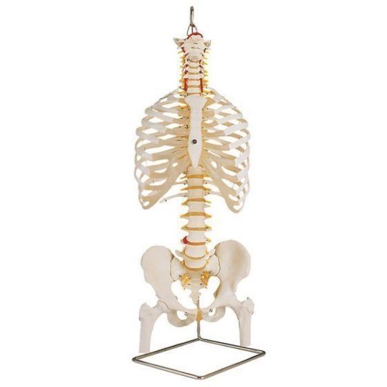 Columna vertebral clásica flexible con tórax y muñónes del femur