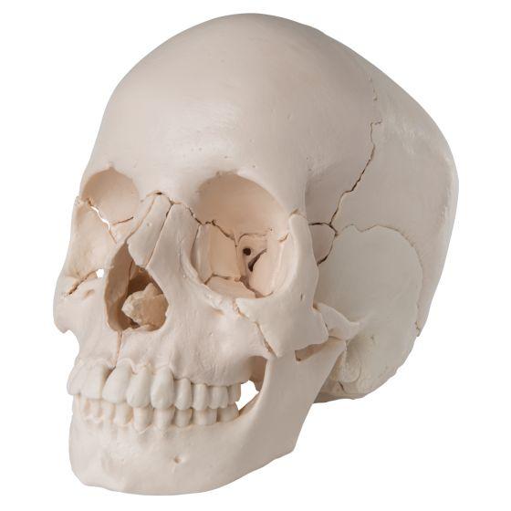 Cráneo desmontable en 22 partes, versión anatómica 3B Scientific A290
