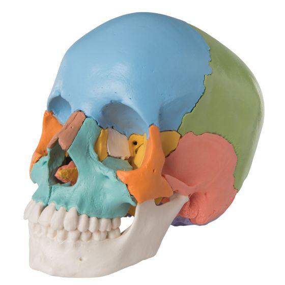 Cráneo desmontable 3B Scientific - versión didactica, en 22 partes, A291