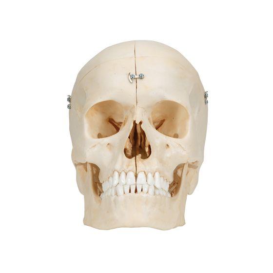 Cráneo con huesos 3B scientific 6 partes 3B - A281