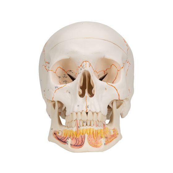 Cráneo clásico con mandíbula abierta, desmontable en 3 piezas 3B - A22