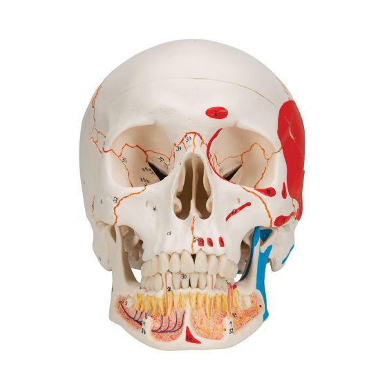 Cráneo clásico con mandíbula abierta, pintado, 3 partes 3B Scientific A22/1