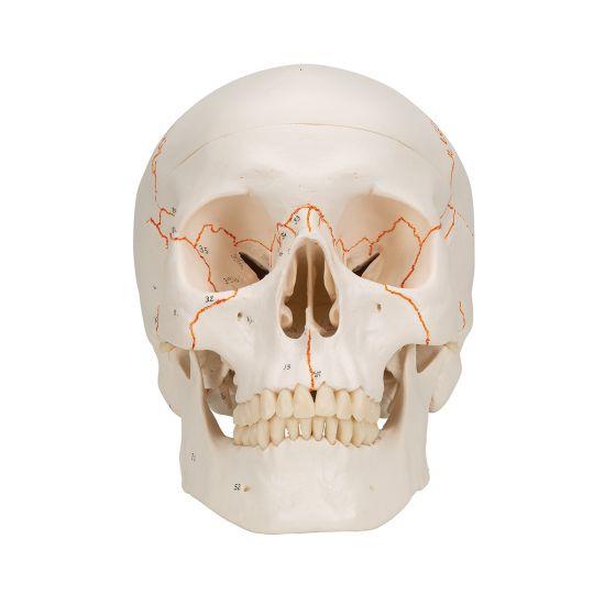 Cráneo clásico con numeración, 3 partes 3B Scientific A21