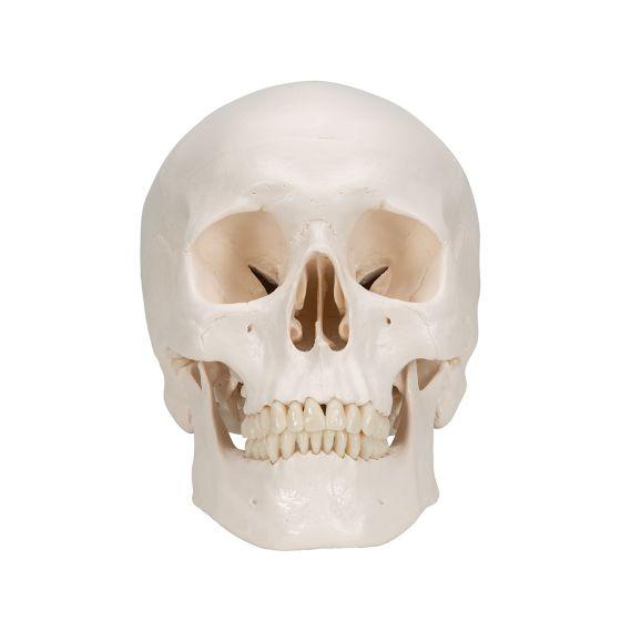 Cráneo Clásico, 3 partes 3B scientific - A20