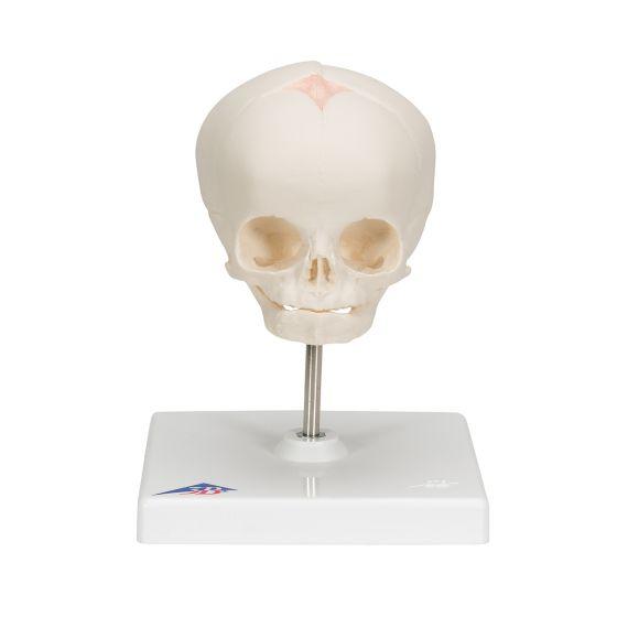 Cráneo de feto, sobre soporte 3B scientific - A26