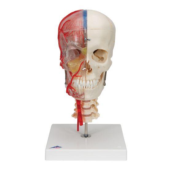 Cráneo didáctico de lujo, 7 partes 3B scientific A283