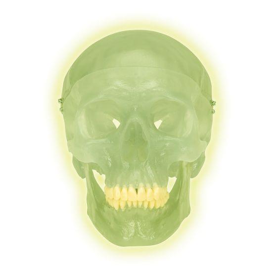 Cráneo de neón 3B Scientific A20/N