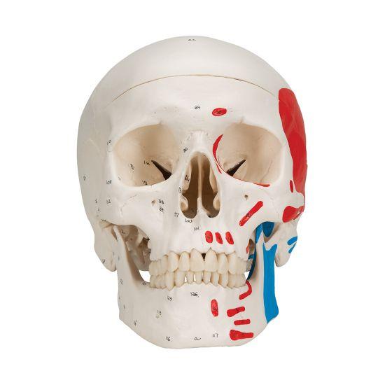 Cráneo clásico, pintado, 3 partes 3B scientific A23