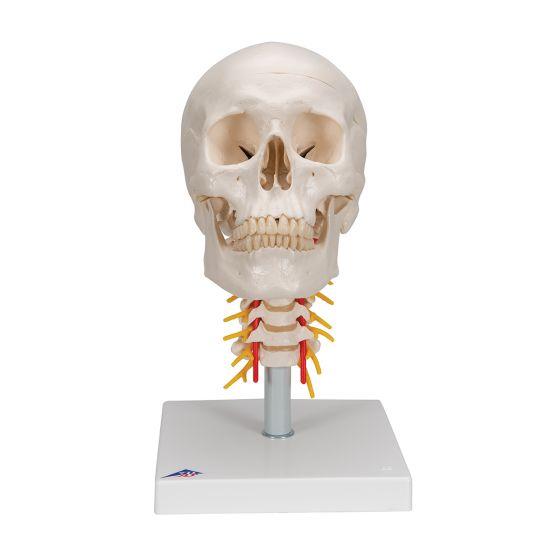 Cráneo clásico sobre columna cervical, 4 partes 3B scientific A20/1