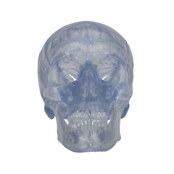 Cráneo Clásico transparente, 3 partes 3B scientific - A20/T