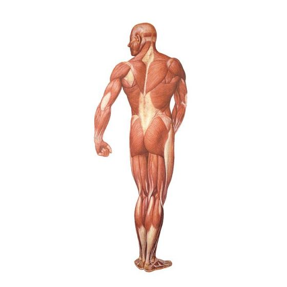 Musculatura Humana, posterior V2005U