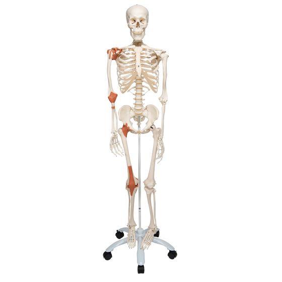 Esqueleto con ligamentos articulares Leo, con soporte rotatorio, 5 patas 3B - A12