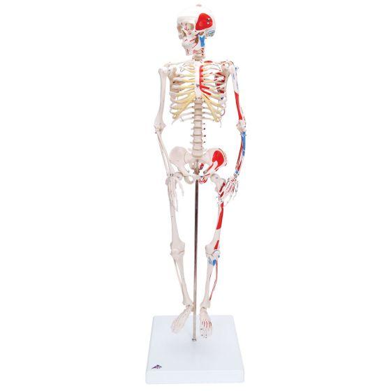 """Esqueleto Miniatura  """"Shorty"""" con músculos pintados, sobre soporte A18/5"""