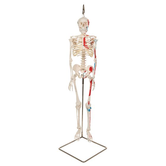 """Esqueleto Miniatura """"Shorty"""" con músculos pintados, sobre soporte colgante A18/6"""