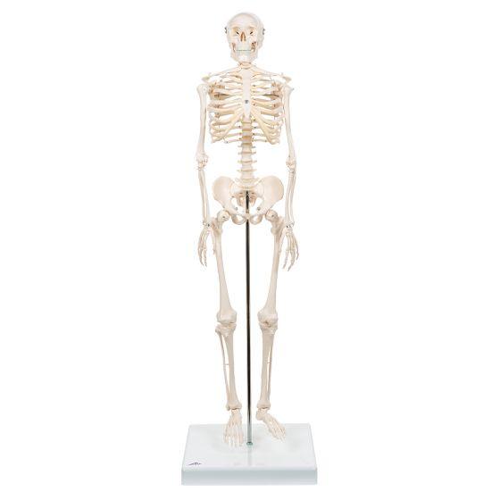 "Esqueleto Miniatura ""Shorty"", sobre zócalo A18 3B scientific"