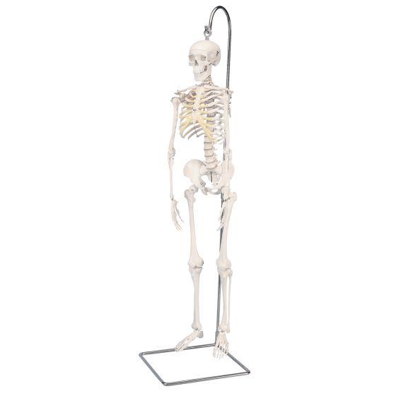 Esqueleto Miniatura Shorty (80cm) c/soporte 3B scientific A18/1