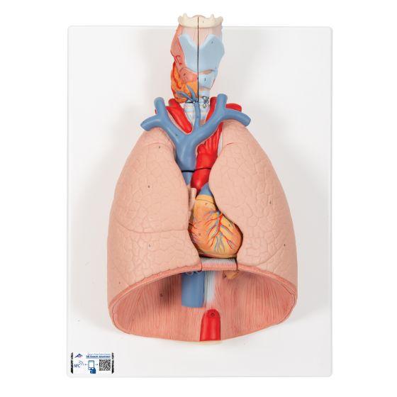 Modelo del pulmón, 7 piezas 3B scientific G15