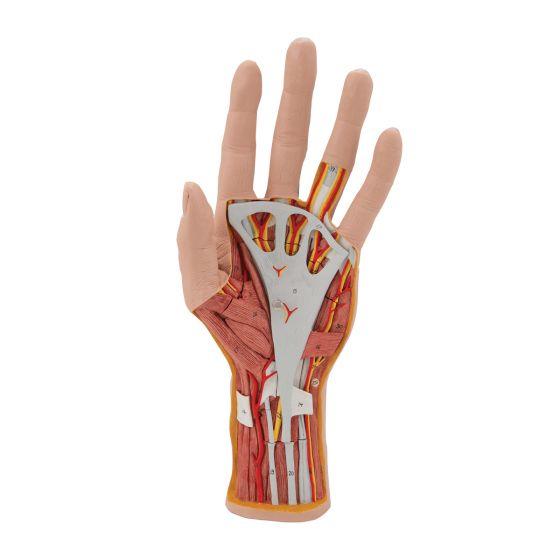 Modelo de la estructura de la mano desmontable en 3 piezas 3B Scientific M18