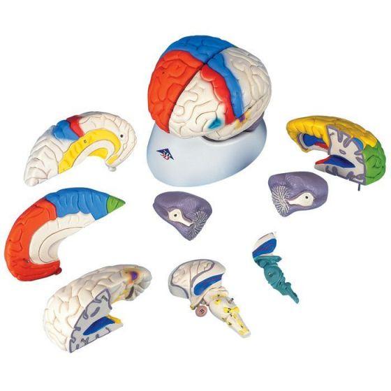 Cerebro neuro-anatómico, desmontable en 8 piezas 3B scientific C22