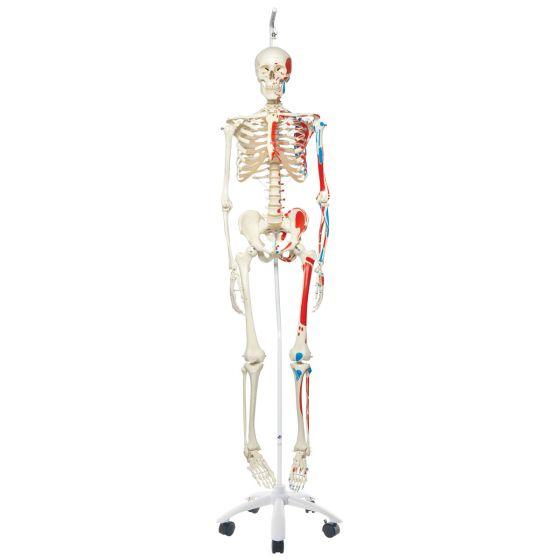 Esqueleto clásico Max con representación de músculos, en soporte colgante A11/1