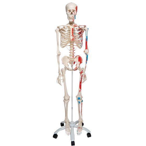 Esqueleto con músculos Max, con soporte para colgar 3B scientific A11/1