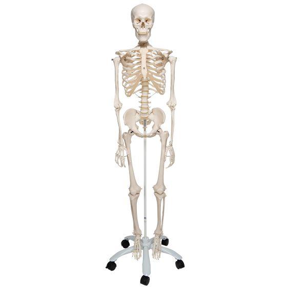 Esqueleto clásico 3B scientific Stan, en soporte con ruedas A10
