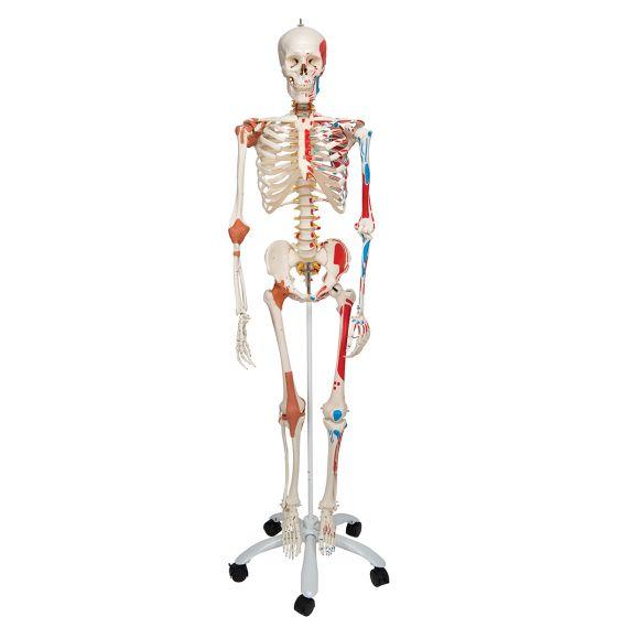 Esqueleto de lujo Sam 3B scientific, en soporte con ruedas A13