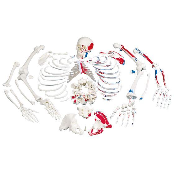 Esqueleto con descripción de músculos, desarticulado A05/2