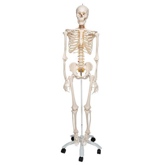 Esqueleto de lujo Fred, en soporte de 5 patas con ruedas A15 3B scientific
