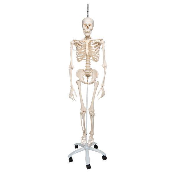 Esqueleto fisiológico, sobre soporte rotatorio 3B scientific - A15/3