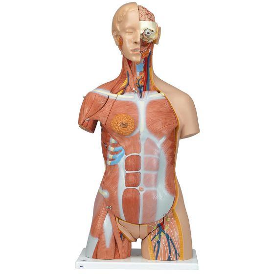 Torso de lujo con músculos, 31 partes 3B - B40