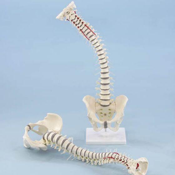 Columna vertebral con Pelvis desmontable Erler Zimmer